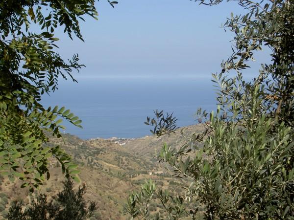 イタリアのシチリア島で有機栽培されたオリーブの実